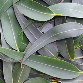 gum leaves SQUARE